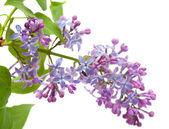 Common lilac branch — Stock Photo
