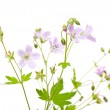 Meadow cranesbill — Stock Photo #47438495