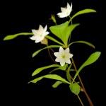 Arctic starflower — Stock Photo