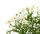 Marguerite daisy — Stock Photo