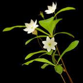 Kuzey Kutbu starflower — Stok fotoğraf