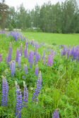 Flowering lupine on the roadside — Stock Photo