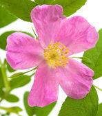 Rosa aislado — Foto de Stock