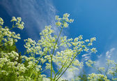 Summer background with cow parsley — Stock Photo