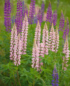 Flowering lupine background — Stock Photo