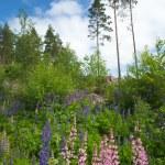 Finnish summer — Stock Photo #48028007