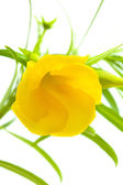 Yellow oleander — Stockfoto