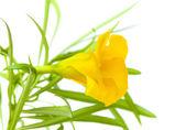Yellow oleander — Stock Photo