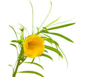 Yellow oleander — Stock Photo