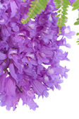 Jacaranda flowers isolated — Stock Photo