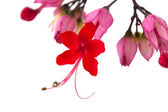 Clerodendrum thomsoniae — Stock Photo