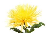 黄色菊花, — 图库照片