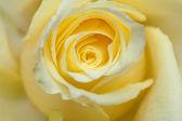 淡黄色玫瑰背景 — 图库照片