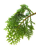Brach of thuja — Stock Photo