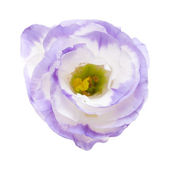 Variegated eustoma flower isolated on white — Stock Photo