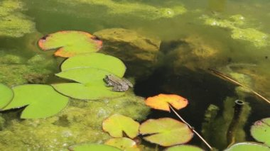 Frog on a lily pad — Stock Video