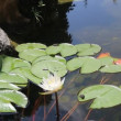 White water lily in a pond — Stock Video