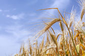 Ears of ripe wheat on a background of the sky — Stock Photo