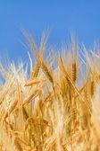 Ears of ripe wheat — Stock Photo