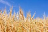 It's time to harvest — ストック写真