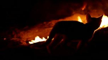 Fire cat — Stock Video