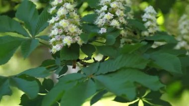 Blooming chestnut — Stock Video