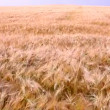 Harvest of ripe wheat — Stock Video