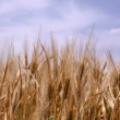 Stock Video: Ripe wheat against blue sky