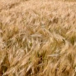 Stock Video: Wheat crop