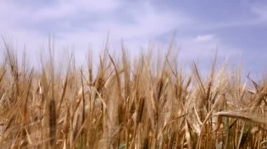 Ears of wheat against the sky — Stock Video