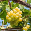 Bunch of grapes — Stock Photo #37601583