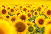 Blühende sonnenblume. — Stockfoto