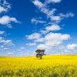 Canola Landscape - Stock Photo
