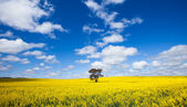Canola Landscape — Stock Photo
