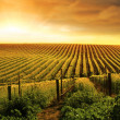 Stock Photo: Stunning Vineyard Sunset