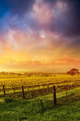 Barossa Glory — Stock Photo