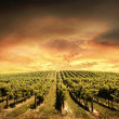 Stock Photo: Vineyard Light