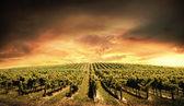Luz de vinhedo — Foto Stock