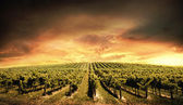 Vineyard Light — Stockfoto