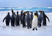 Los pingüinos del rey — Foto de Stock