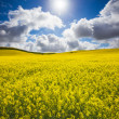 Stock Photo: Canola Glow