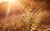 Golden Grass — Stock Photo