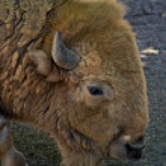 American bison buffalo in the zoo — Stock Photo