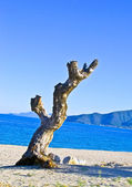 Old dead and dry tree on the greece mediterranean beach mediteranean — Stock Photo