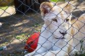 львенок, за своей клетке в зоопарке — Стоковое фото