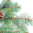 Evergreen fir and cone christmas isolated on whitebackground - Stock Photo