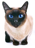 Siamese cat isolated on the white background — Stock Photo