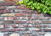 Old Brick wall and ivy — Stock Photo