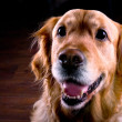 Stock Photo: Golden Retriever Dog