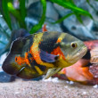 Oscar fish in aquarium — Stok fotoğraf